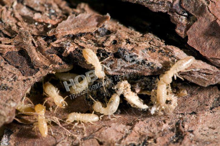 Que es la madera con tratamiento autoclave termitas